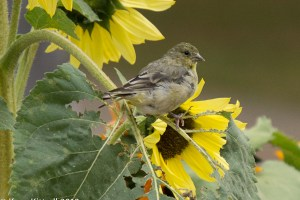 Parrots and Finches Spell Trouble for my Sunflowers