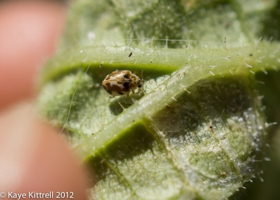 Cucurbit Issues, or Trouble in the Parkway - Lady Beetle