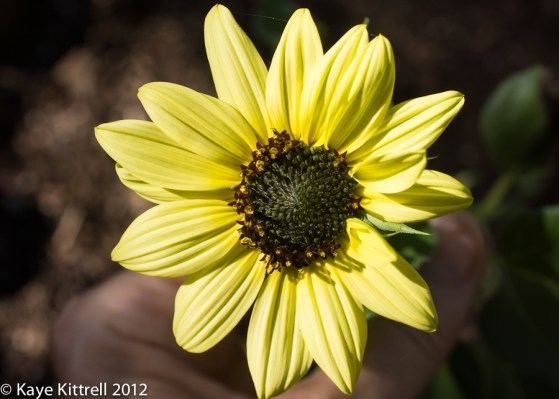 Summer: it's not over yet! - Sunflower