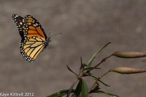 Monarch Sighting!