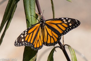 My Monarch Photo on GardenStalking.com