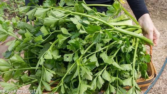 Winter Garden Celery