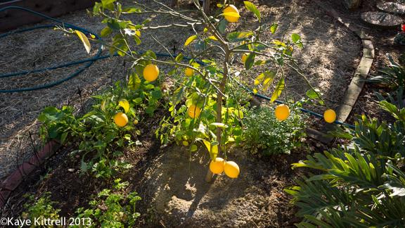 Winter Garden lemons
