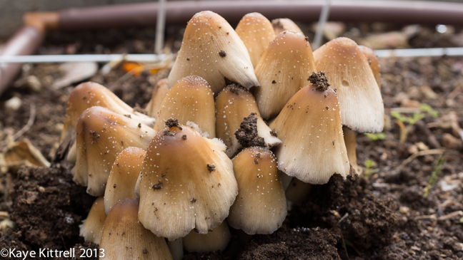 Lord of the Rings Fungi Cluster