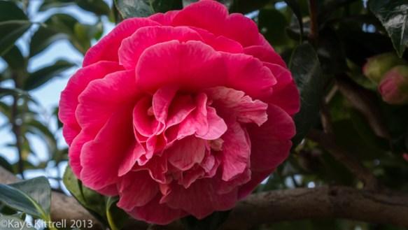 Blushing Blooms-camelia
