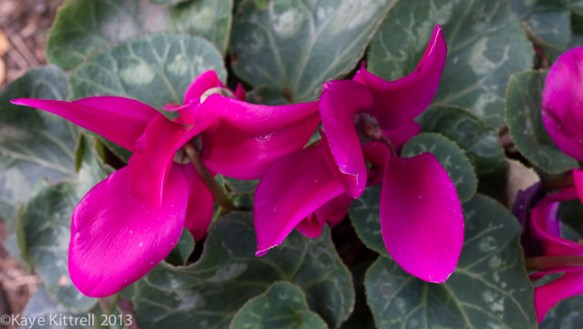 Blushing Blooms-cyclamen
