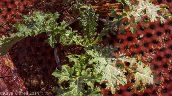 Screening Winter greens-white Russian kale