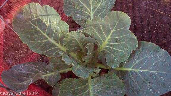 Screening Winter Greens-cabbage