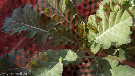 Screening Winter Greens-broccoli