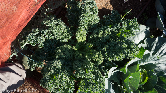 Winter Harvest is Beginning-kale