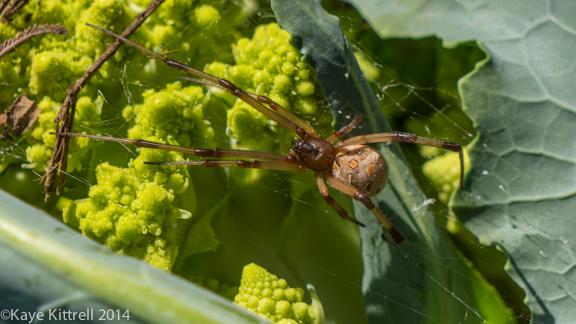 Winter Harvest is Beginning-spider