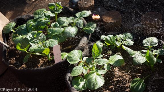 Winter Harvest is Beginning-potatoes