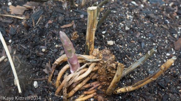 After the rain-asparagus