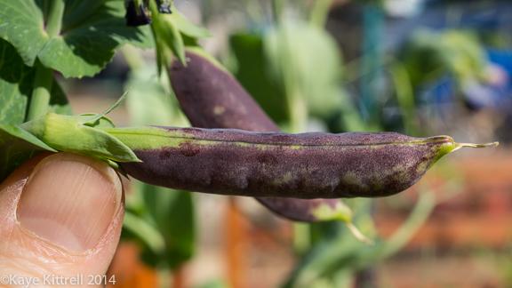 Growing Sweet Peas-purple pea