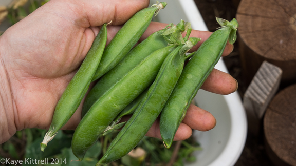 Growing Sweet Peas-green peas