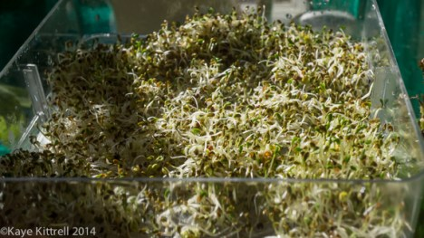 Sprouting Seeds Simply-alfalfa sprouts