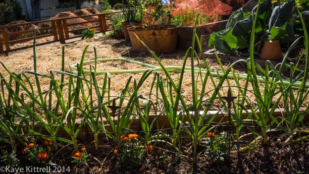 Growing Garlic in an Urban Garden-row