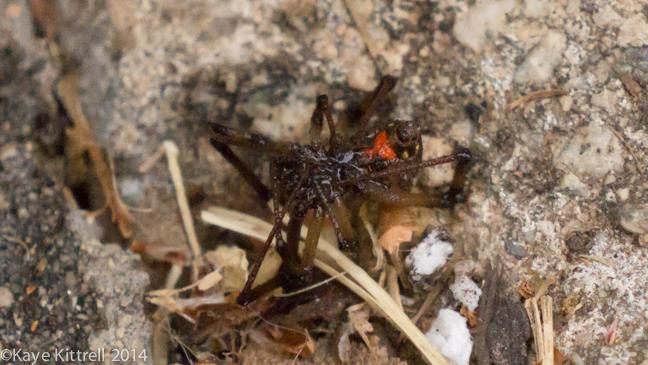 Brown Widow Spiders for Breakfast?spider2sprayed