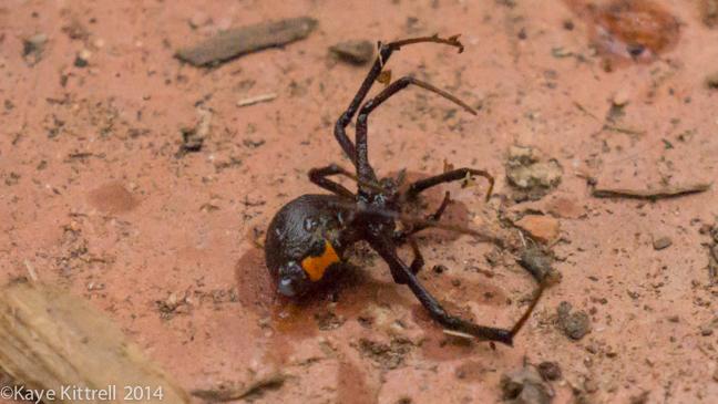 Brown Widow Spiders for Breakfast?Spider1 sprayed