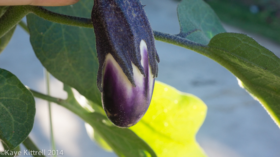 Heat Wave Pushes Summer Veggies into Fall - Eggplant