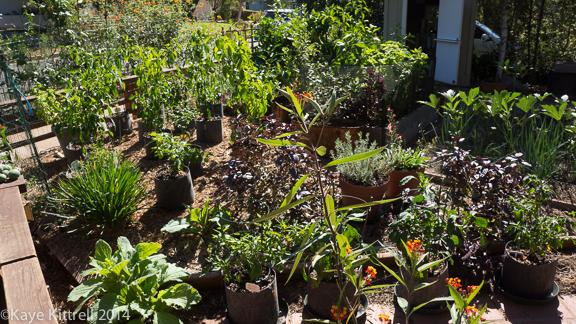 Heat Waves Pushes Summer Veggies into Fall - Garden