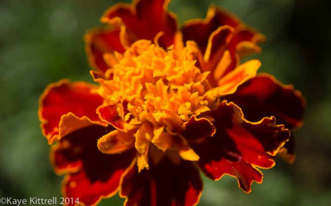 October Blooms both ethereal and lusty - marigold