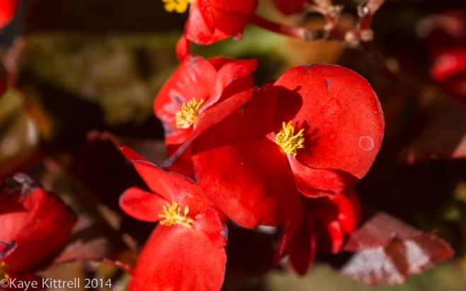 October blooms both Ethereal and lusty - begonia