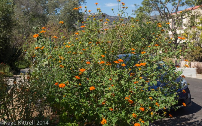 October blooms both ethereal and lusty - bush