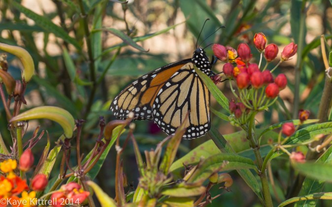 October blooms both ethereal and lusty - Monarch on milkweed