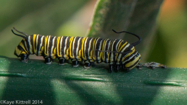 Morning Impressions with Monarchs