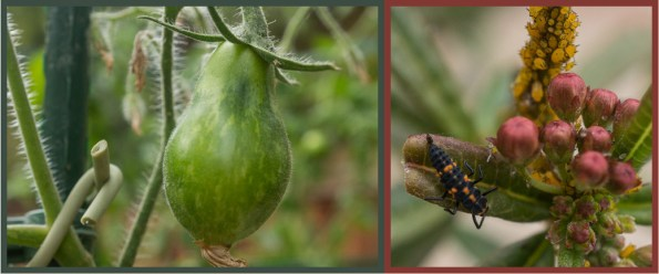 Give it the time of day - tomato, lady beetle larva
