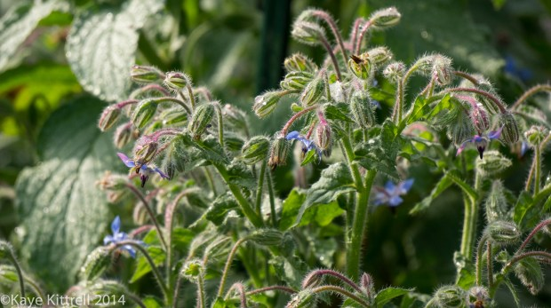 Loveliness after the rain & More on our Water Woes - Borage blooming
