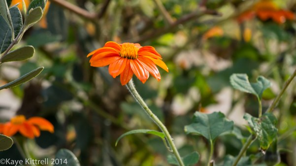 Loveliness after the rain & More on our Water Woes - Mexican Sunflower