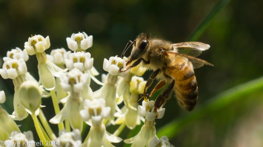 We need all the bees we can get - bee on milkweed