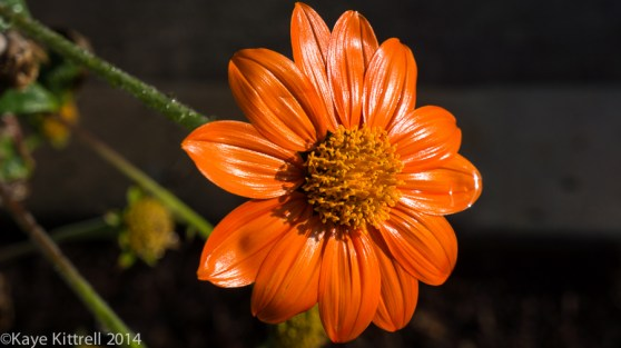 Halloween brings a treat, rain! - Mexican sunflower