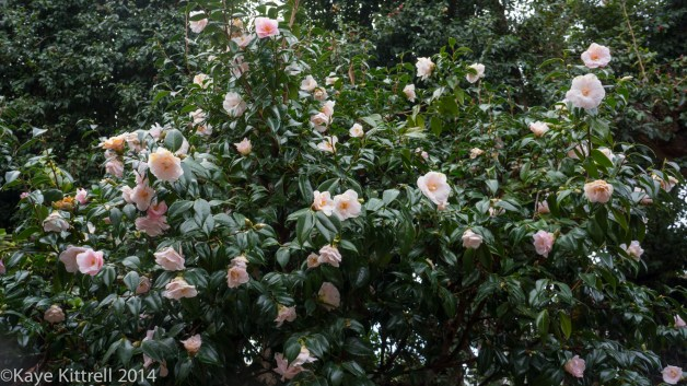 December Blooms in Southern California - pink camellia bushes