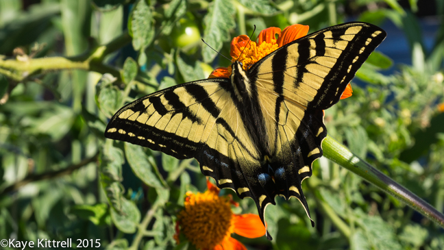 Grow Mexican Sunflower and Attract Monarchs - Western Tiger Swallowtail Butterfly