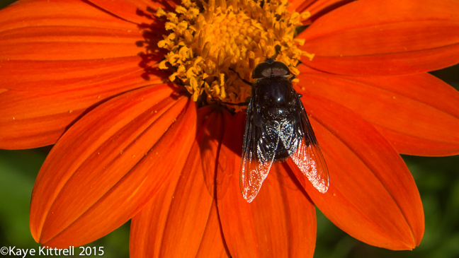 Grow Mexican Sunflower and Attract Monarchs - Syrphid Fly