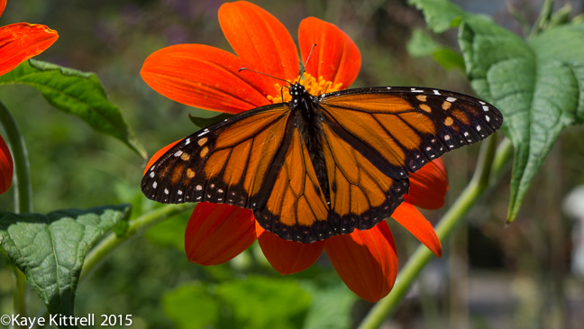 Grow Mexican Sunflower and Attract Monarchs - Male Monarch Butterlfy