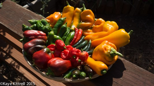 Growing Peppers - Part 1: Sowing, Potting, Pests, Harvest - Kaye's peppers