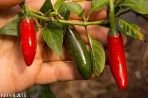 Growing Peppers – Part 2: Rain, Preserving, Seed Saving, Eating