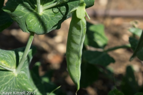 It's time to sow peas and carrots - sweet pea pod