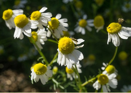 Extreme Garden Makeover Day 1 - German Chamomile