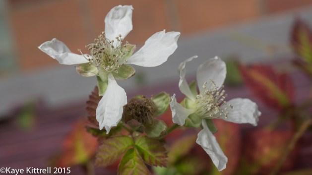 Boysenberry, so Precious, so Rare! - bloom