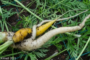 Harvest those carrots!