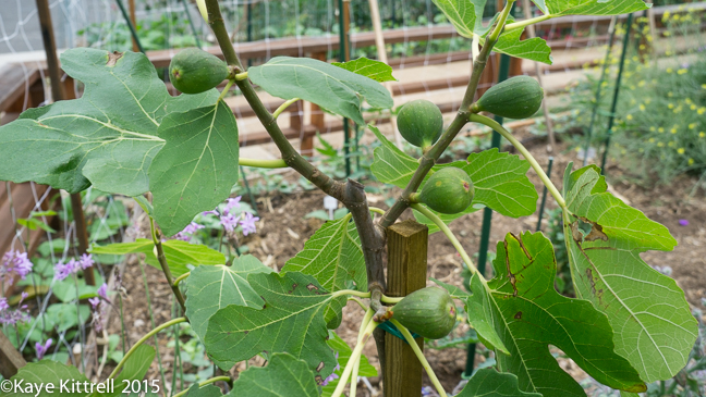 The best way to eat a fig - fig tree