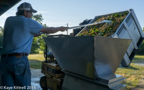 Files from the Road: Muscadine Harvest - Crusher