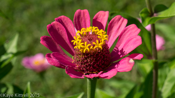 Files from the Road: Growing Loofah - Zinnia