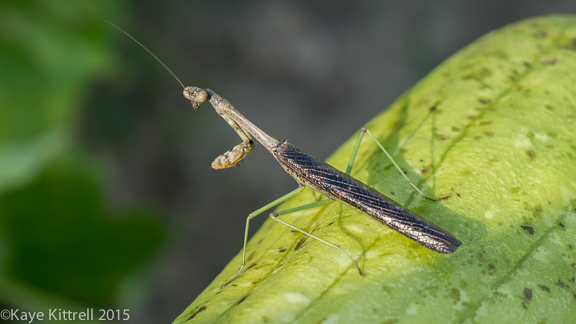 Files from the Road: Growing Loofah - Praying Mantis