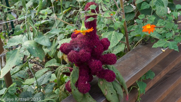 Battening down the hatches - fence with amaranth